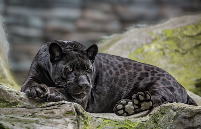Чёрный ягуар