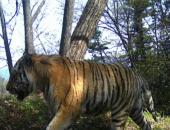 Старость — не радость: определена причина нападения тигра на сторожевых собак