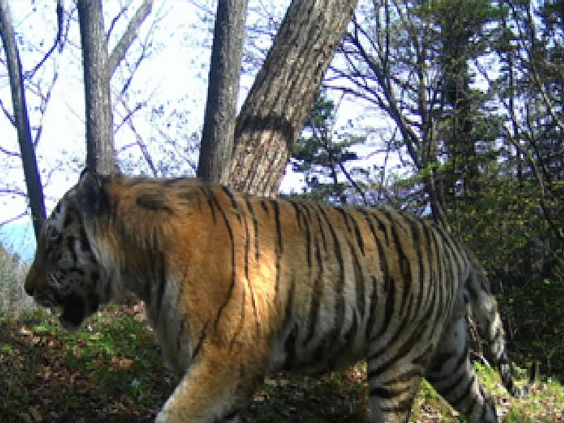 Старость не радость: определена причина нападения хищника из «Земли леопарда» на сторожевых псов
