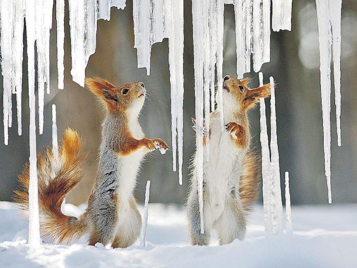 Зимние приключения удивительных белочек