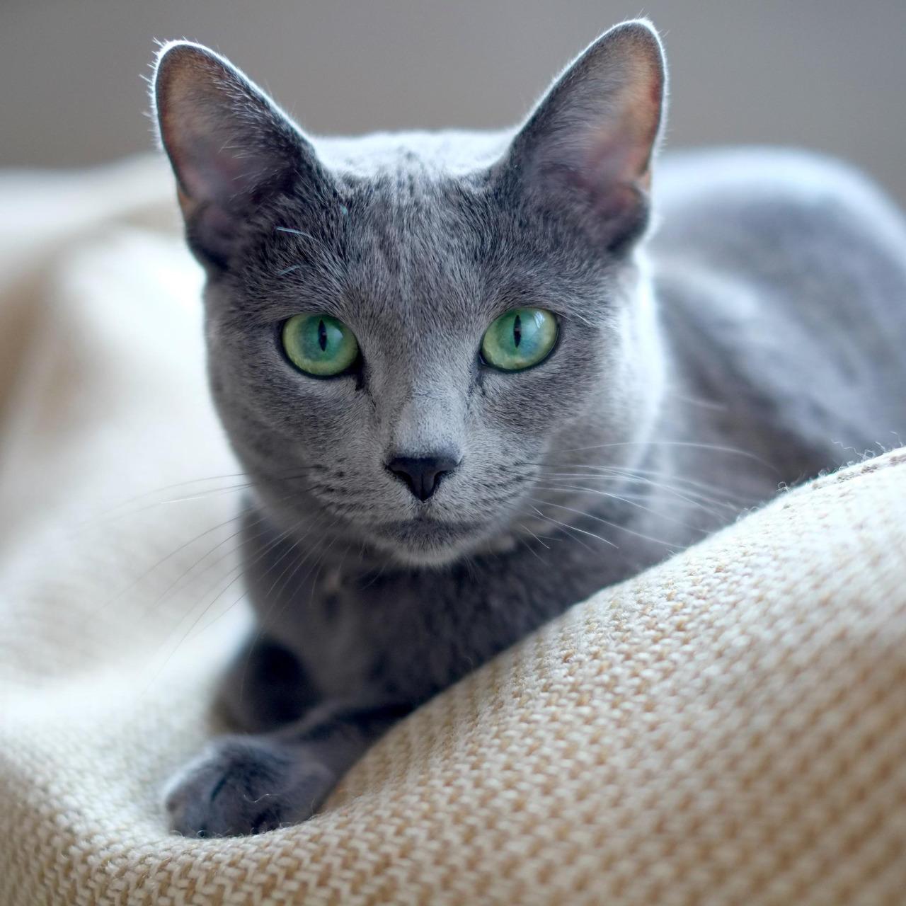 russian blue cat - HD1280×1280