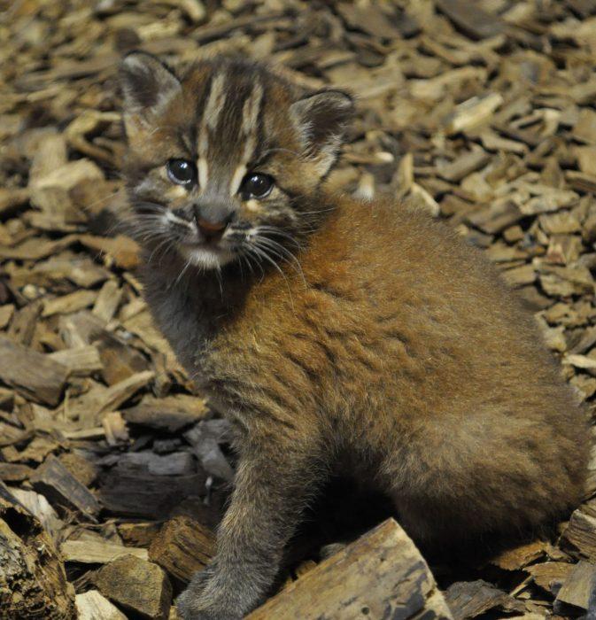 Котёнок Темминка