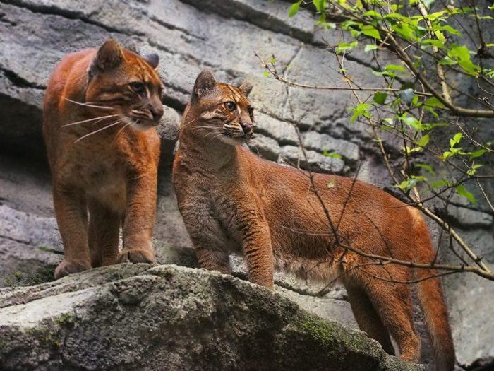 Золотистые азиатские кошки