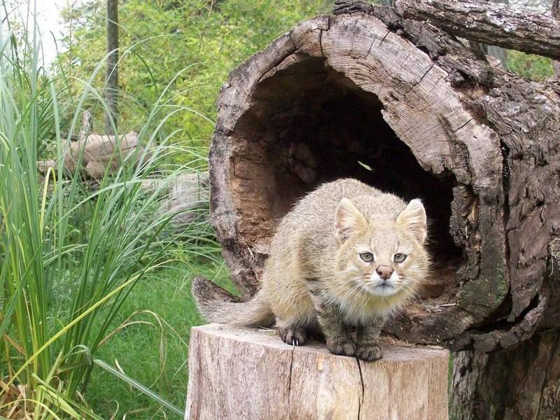 Пампасская или травяная кошка