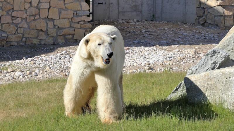 В эстонском зоопарке белому медведю сделали эвтаназию