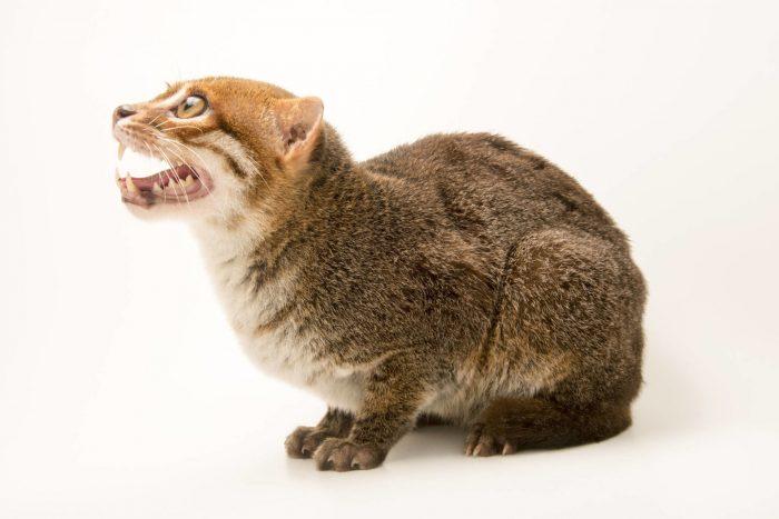 Суматранская козка, зубы