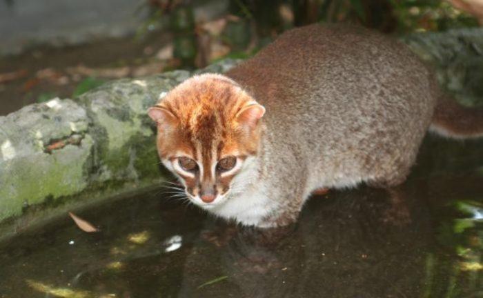 Суматранская кошка в воде