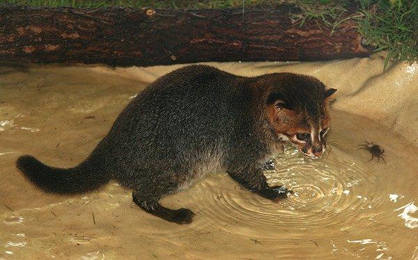 Суматранская кошка на рыбалке