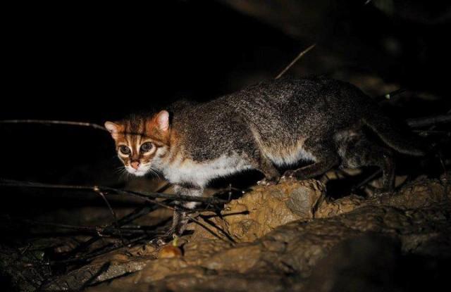 Суматранская кошка на охоте