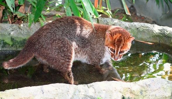 Суматранская кошка ловит рыбу