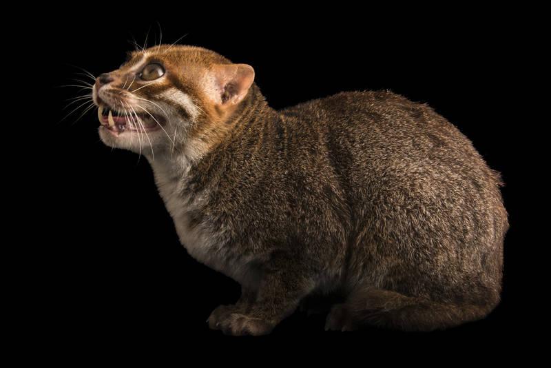 Суматранская кошка: отличный рыболов