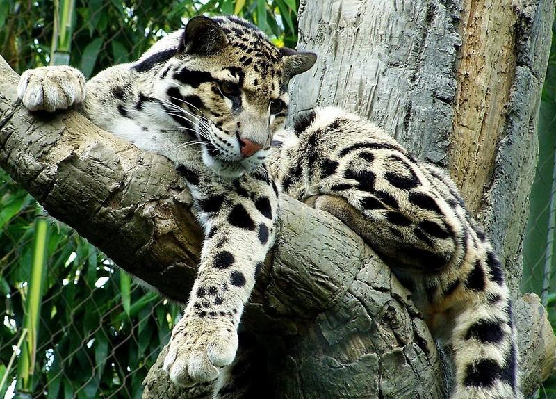 Дымчатый леопард — древнейший представитель кошачьих