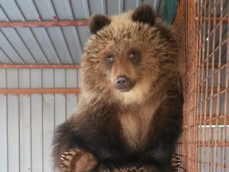 Осиротевшую медведицу Машу отправляют в Москву
