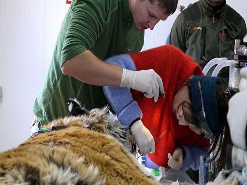 Тигру Тихону из Приморского края вылечили больные зубы