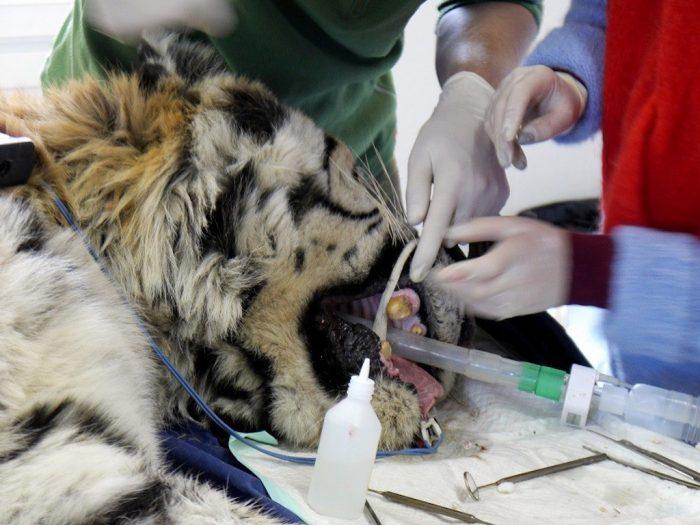 Лечение зубов у тигра