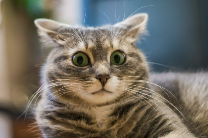 удивленная полосатая кошка