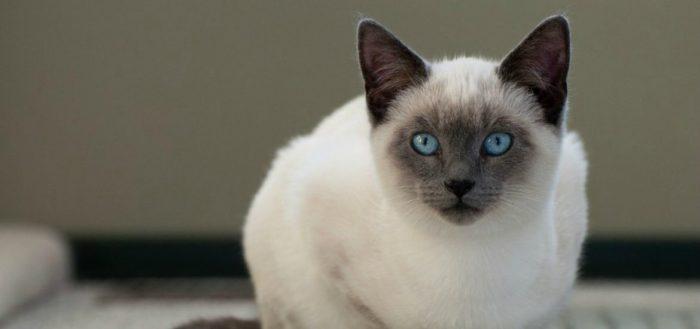 белая кошка с голубыми глащами