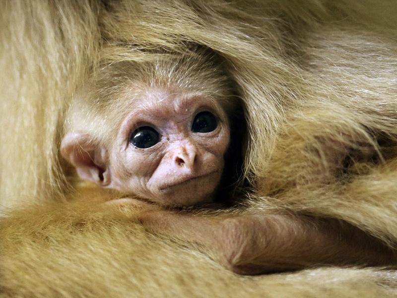 Детёныш редкого вида гиббона появился на свет в заповеднике Китая