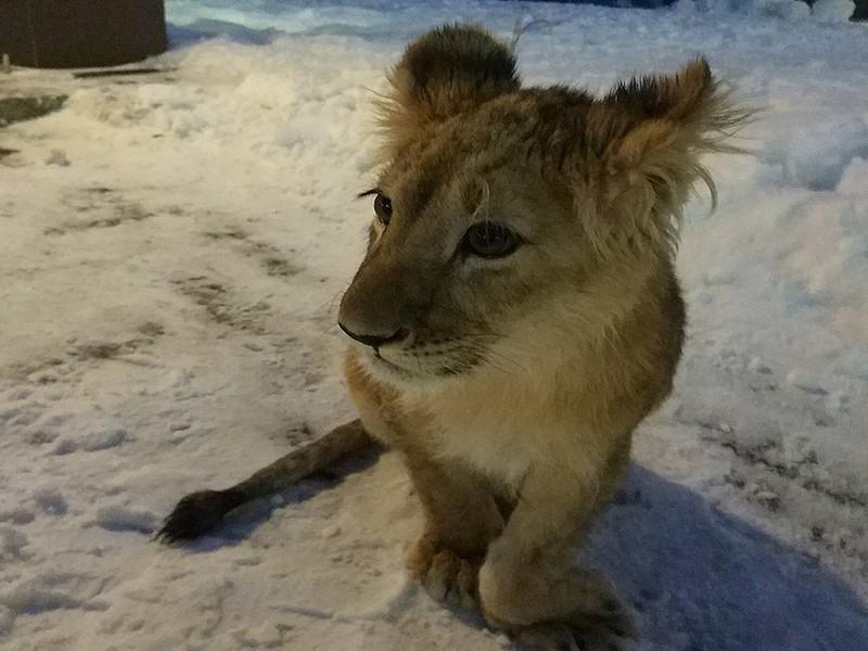 Волонтёрам из Петербурга пришлось выкупить больную львицу у горе-хозяина