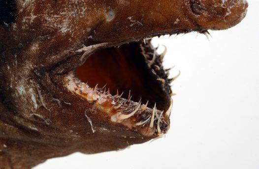 зубы Тауматихта Акселя
