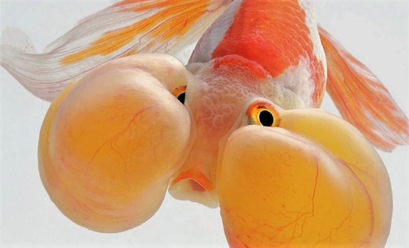 Аквариумные рыбки в фотографиях Visarute Angkatavanich: сказочные бойцовские петушки