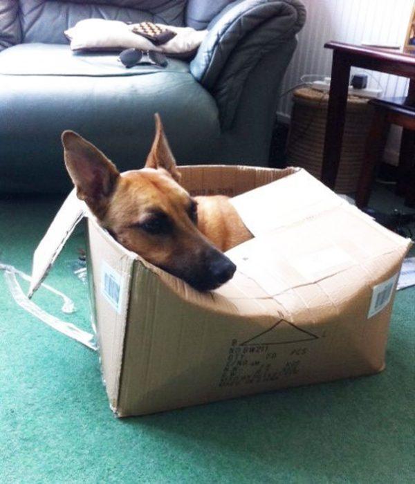 Собака залезла в коробку