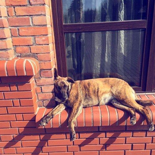 Собака лежит у окна
