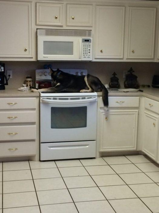 Собака на кухонном столе