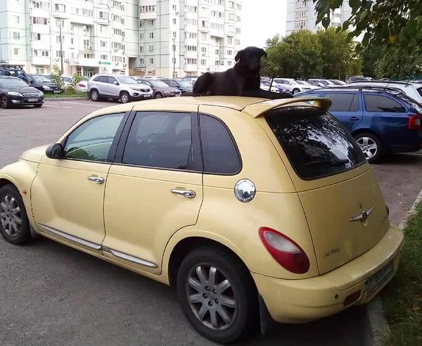 Собака спит на машине