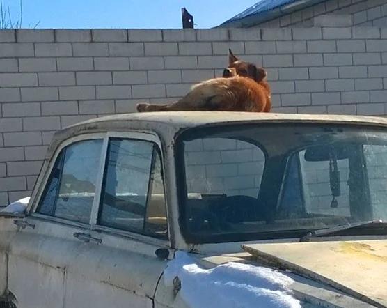 Собака на крыше машины