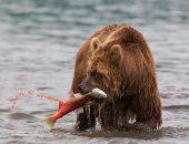 Голодным и спать не хочется: медведь с Камчатки ещё не в спячке