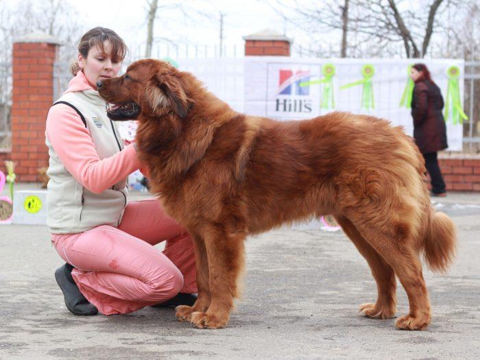 Рыжий бурят-монгольский волкодав