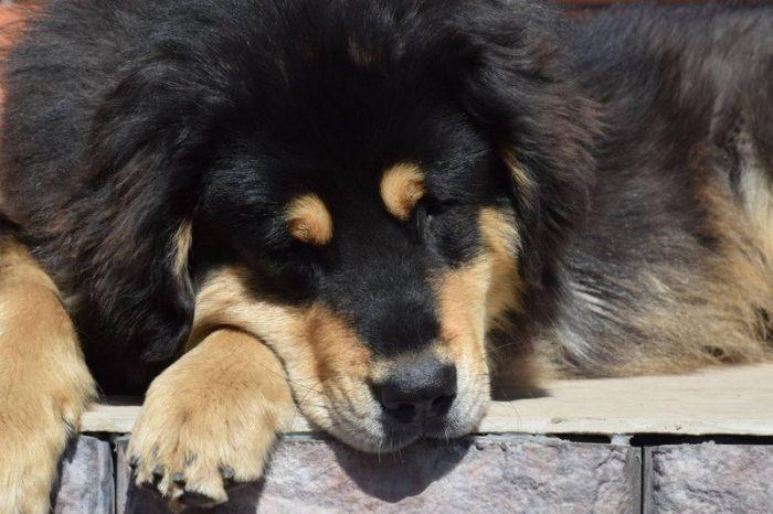 Бурят-монгольский волкодав спит