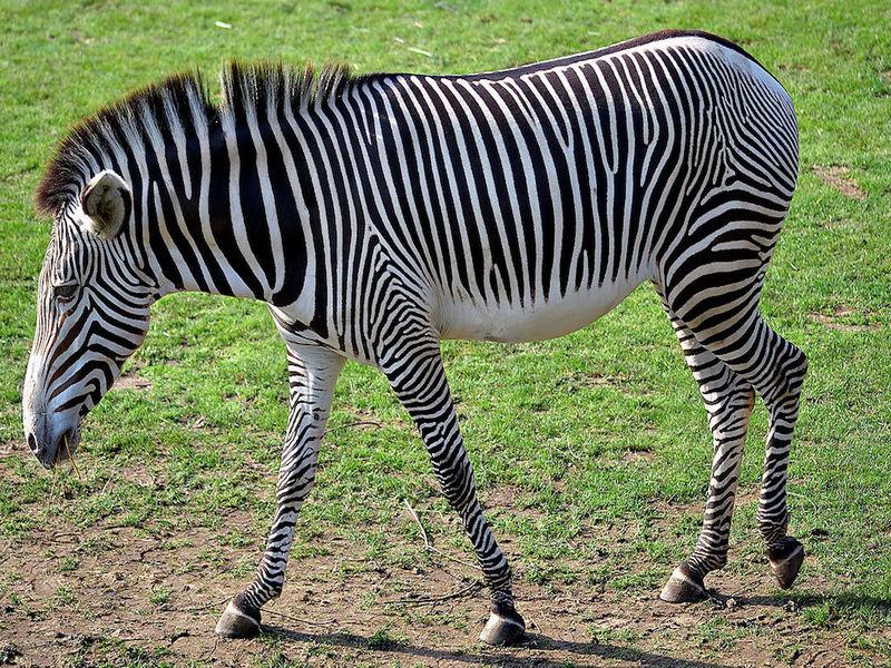 Учёные выяснили, зачем зебре чёрно-белый раскрас