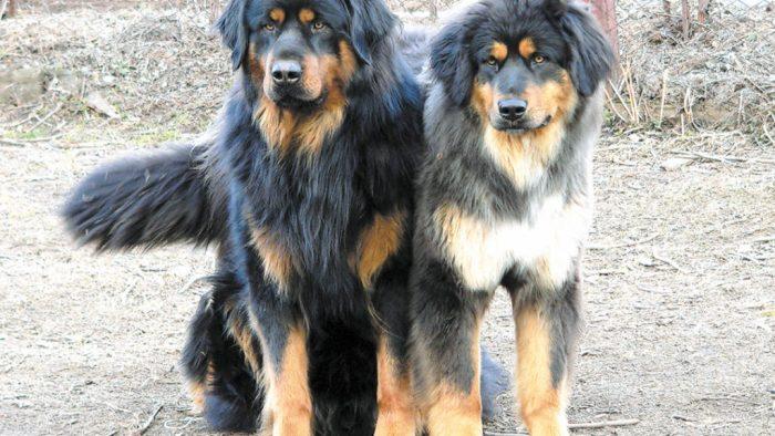 Два бурят-монгольских волкодава