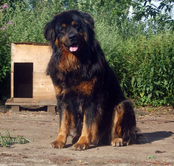 Бурят-монгольский волкодав возле будки