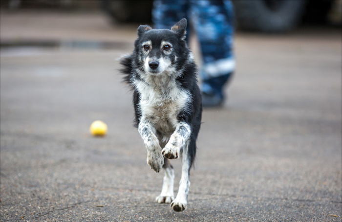 Собака Сулимова бежит