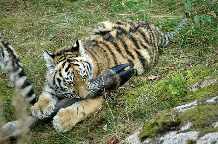 Самка тигра за обедом