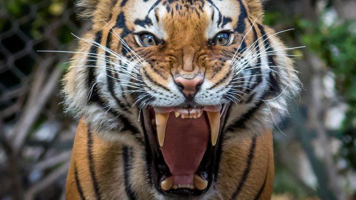 Тигр в ярости