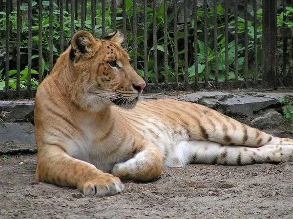 Помесь тигра и леопарда