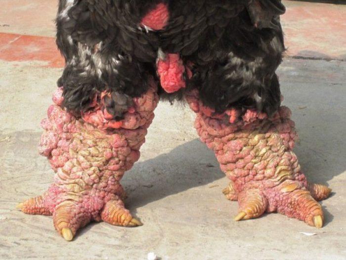 Ноги курицы Га Донг Тао
