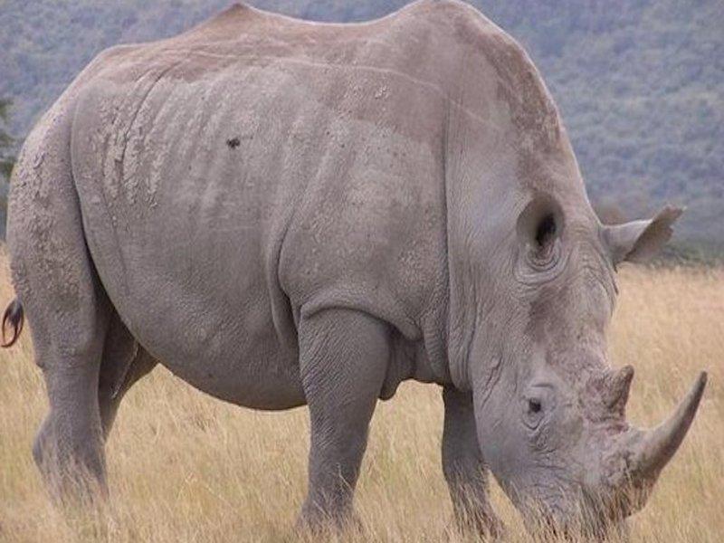 Неприветливый носорог из Крюгера атаковал автомобиль с туристами