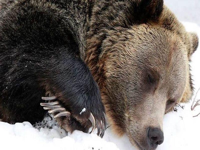 Покой и сон медведя из Снежинска охраняет местная администрация