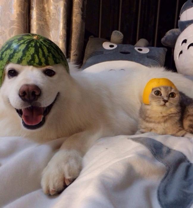 Собака в арбузной каске и кошка