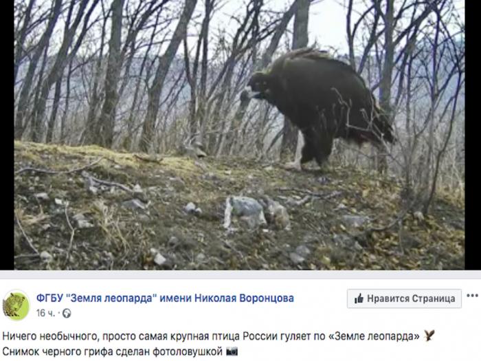 Снимок чёрного грифа был сделан фотоловушкой