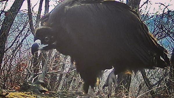 Чёрный гриф на фотоловушке