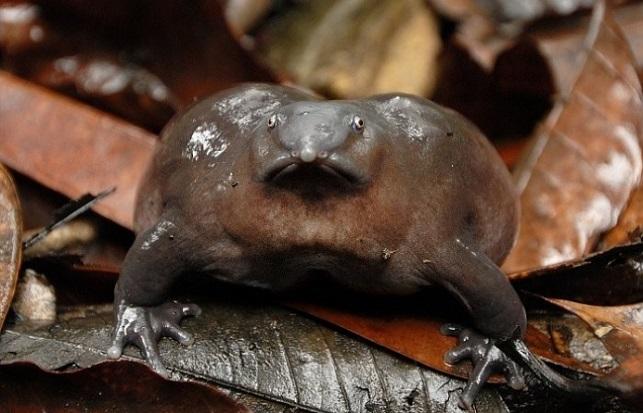 Пурпурная лягушка