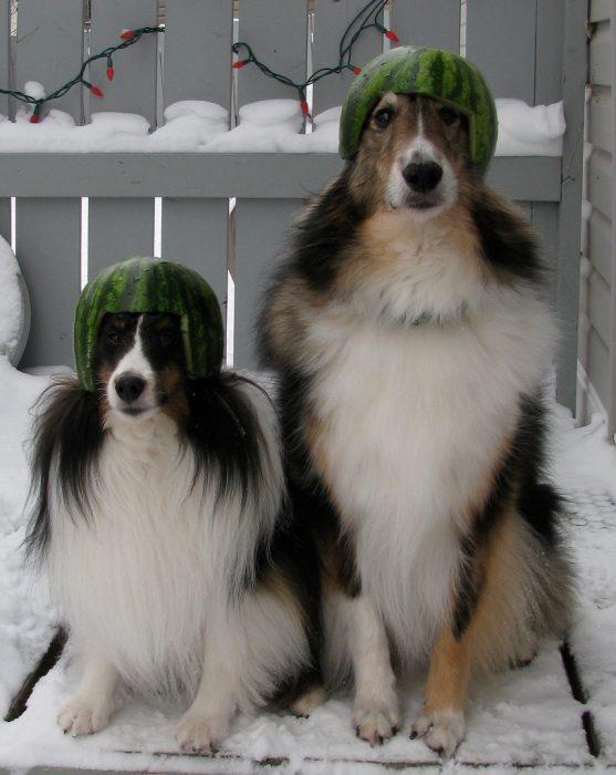 Собаки в арбузных касках