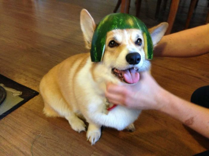 Собака в арбузной каске