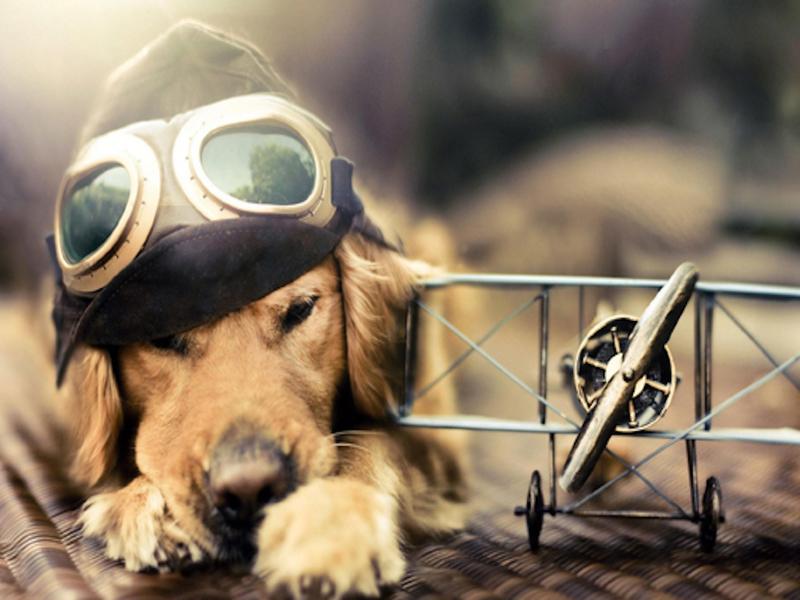 Собака-поводырь не бросила своего хозяина даже в самолёте